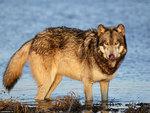 Riverside wolf