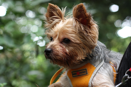Yorkie - pet, yorkie, puppy, dog, animal