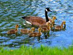 Goose-and-Goslings