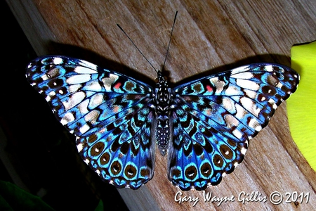 Blue Cracker Butterfly - spotted, butterfly, cracker, blue