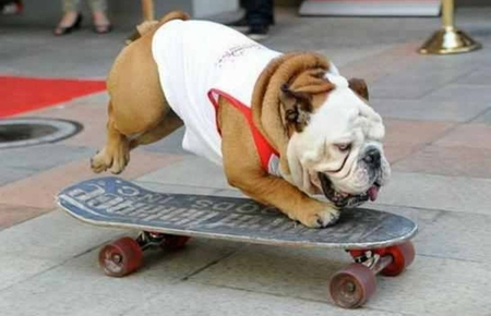 SKATEBOARDING BULL DOG - animal, skateboarding, cool, bull dog, funny, pet, dog, cute