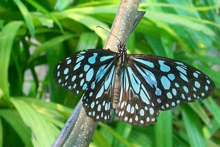 Blue Butterfly - spotted, insect, butterfly, blue