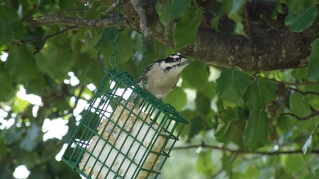 Downy Woodpecker - birds, nature, feeder, woodpecker