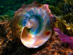 iridescent shell