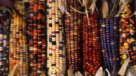 decorative corn - colorful, fall, autumn, warm, harvest, photography, nature, thanksgiving