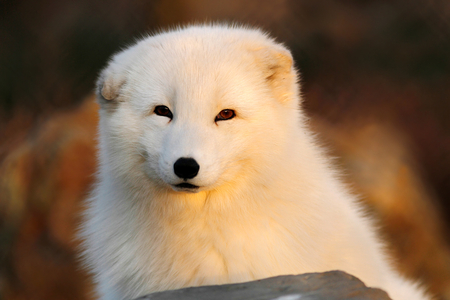 glowing-fox - animal, white, fox, dog, cute