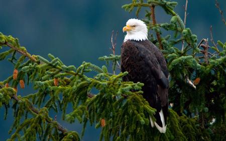 Majestic eagle - animal, forest, pine, freedom, bird, eagle