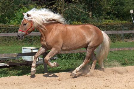 Haflinger Horse  - horses, animals, haflinger horse, austrian horse