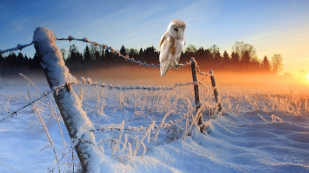 Winter Sunrise - owl, firefox persona, country, sky, winter, barbed wire, farm, bird, snow, sunrise, morning, field