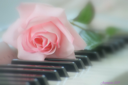 Pink Piano Rose