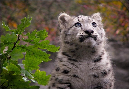 Baby Snow Leopard Cats Animals Background Wallpapers On Desktop