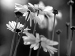 Fading Daisies