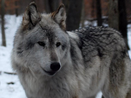 I Want One Too! - lakota, wolf, gray, fur