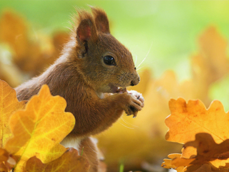 autumn squirrel squirrels amp animals background