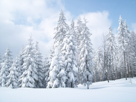 Winter Sentinels - forest, trees, snow, winter