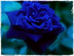 Eternal Blue  Rose