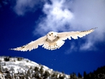 APPROACHING SNOW OWL