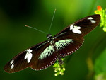 Longwing  - Touch of green