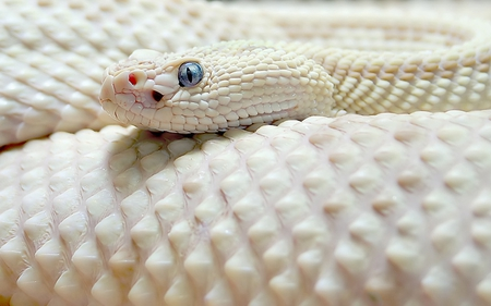 White Snake - other, reptiles, animals, snake