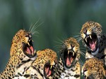 Growling Leopards
