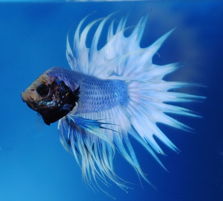 The Attack Is Everything - fish, betta, sapphire, attack, blue