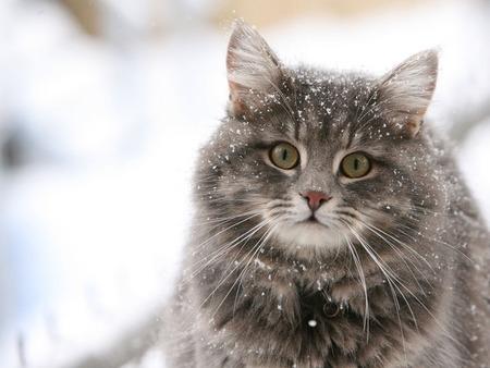 Norwegian Snow Cat Cats Amp Animals Background Wallpapers