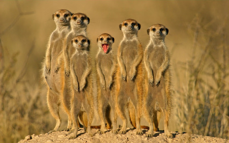 How to win Friends - meerkats, desert, smile