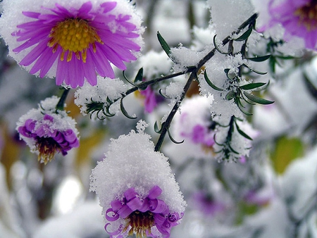Snow Capped Flowers Flowers Nature Background Wallpapers