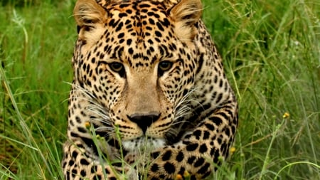 Approaching Leopard - grass, approach, leopard, wild, cat