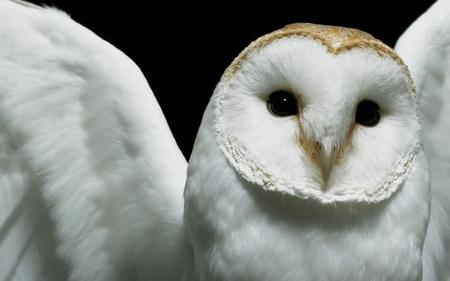 beautiful owl - animal, white, photography, owl, bird