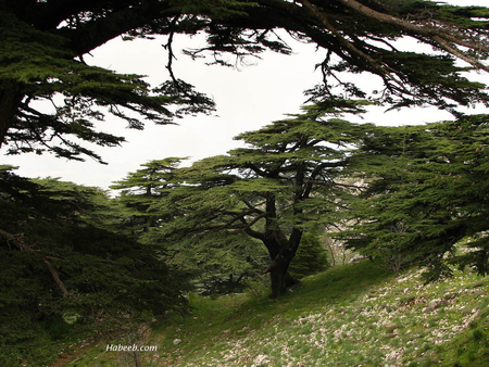 cedars of Lebanon - lebanon, cedar, mountains, nature, trees