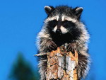 Raccon on a tree trunk