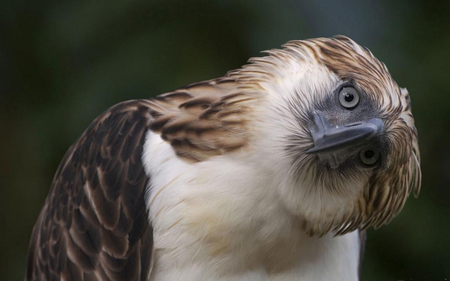 Philippine Eagle 2 - philippine, eagle, bird, wallpaper