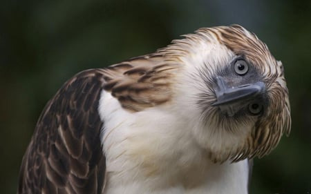 Philippine Eagle 2 - eagle, philippine, bird, wallpaper