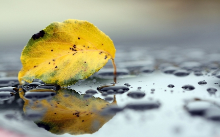Fallen Leaf - leaf, water, yellow, fall, fallen, autumn, photography, drops, nature