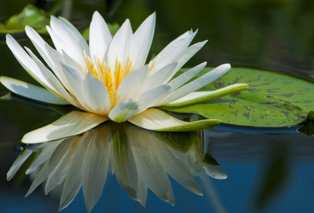 Water lily - water lily, beautiful, leaves, water, green, beauty, petals, reflection, white