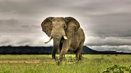 Elephant - animal, beautiful, elephant, grass