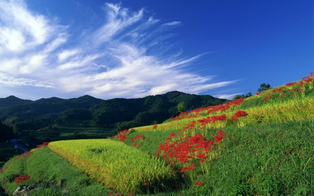 Blue-sky-white-clouds-and-flowers - grass, sky, green, flowers, red, clouds, nature