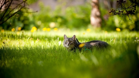 Sweet Cat In Gras - cute, gras, cat, cats, animals, animal, sweet