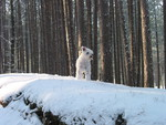 White Schauzer in snow