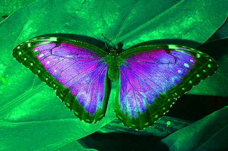 purple and green butterfly pictures