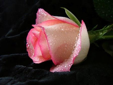 Lovely Rose Flowers Nature Background Wallpapers On Desktop