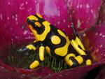 Poison Dart Frog, South America