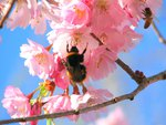 Bumble Bee On Pink Blossom