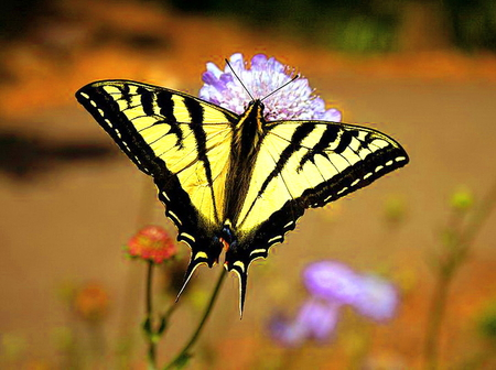 Swallowtail - flower, butterfly, swallowtail, yellow and black