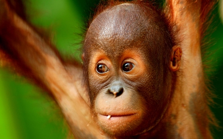 Young Monkey - primate, definiti, orang utang, young monkey, high, wallpaper