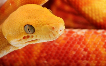 Orange Snake - reptile, orange, animals, scales, snake