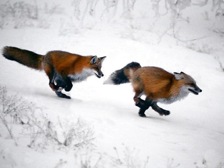 Racing Foxes - foxes, race, snow, winter