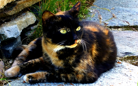 Calico - Ecaille de tortue - colored, kittens, wide eyes, other, dark, eyes, amazing, cute, sweet, mystic, beautiful eyes, brown, animals, awesome, pet, pets, kitty, merry christmas, chats, cool, calico, whiskers, holidays, kitten, black, christmas, emerald, mysterious, photography, cats, face, sweetheart, magic, holiday, myst, gato, love, spirit, cat face, cat, adorable, nice, beauty, beautiful, lovely, animal, fantasy, dreamy, chat, pretty, green