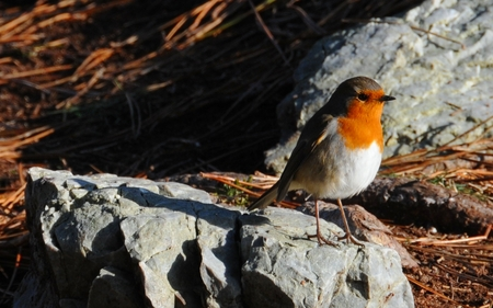 Robin in sunset - beauty, sun, cool, france, robin, oiseau, animal, winged, animals, wind, picture, red, beautiful, feather, nature, amazing, gorgeous, bird, bretagne, fun, feathers, colors, wing, flight, great, wild, widescreen, sunset, other, winter, rocks, birds, nice, light, sunrays, photography